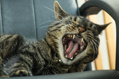 yawning kitty cat