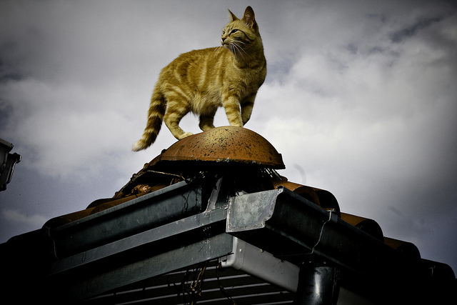 cat king of the city